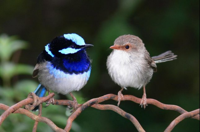 New research suggests bright feathers don't make colorful fairy wrens a target compared to their duller peers. Photo by Wikimedia Commons