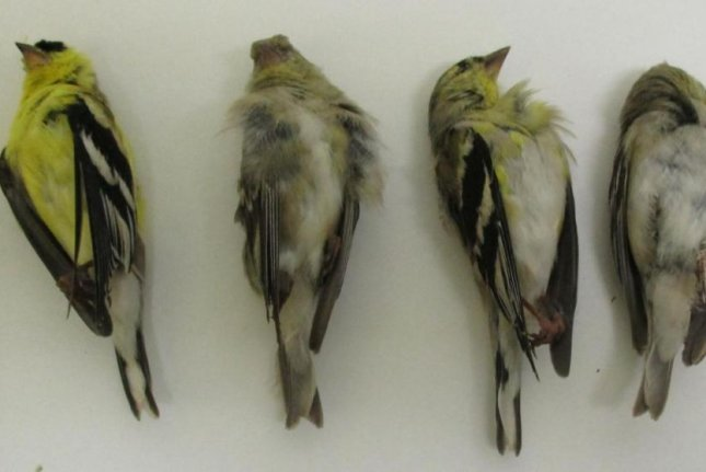 The American goldfinches were found dead at the base of trees recently sprayed with an insecticide in a neighborhood in Modesto, California. Photo by Krysta Rogers