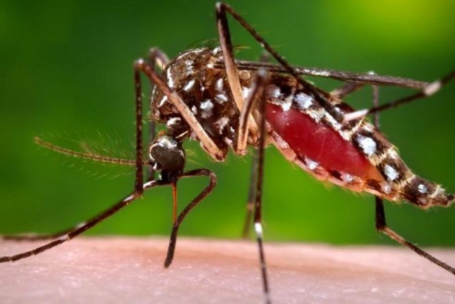 An Aedes aegypti mosquito, capable of carrying the Zika virus. The House passed a $622 million bill to combat the virus Wednesday. Photo courtesy of U.S. Centers for Disease Control and Prevention