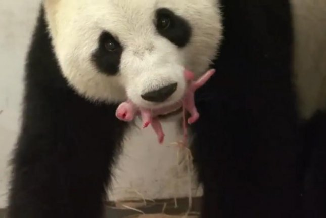 watch mother giant panda carries newborn in her mouth at