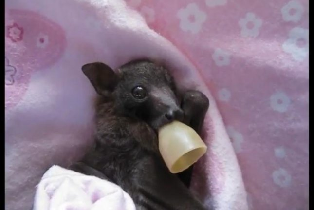 A baby bat being cared for at an Australian rescue. Screenshot: Storyful