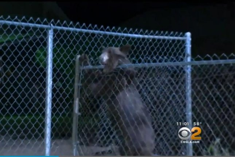 The bear wandering Los Angeles' Sylmar neighborhood Monday night climbs a fence. Screenshot: CBS Los Angeles