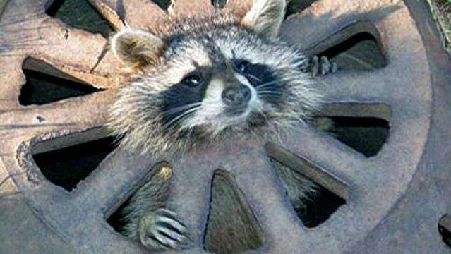 This baby raccoon was found trapped in a city grate. (Image courtesy Robert Ankrapp via Lansing State Journal)