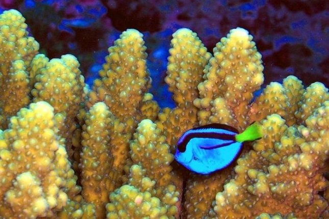 A coral reef fish also known as a Pacific blue tang swims along a crop of Acropora coral in the Pacific Remote Islands National Wildlife Monument. (Jim Maragos/USFWS)