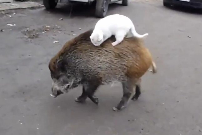 A cat rides on the back of a boar in Lithuania. Screenshot: Newsflare