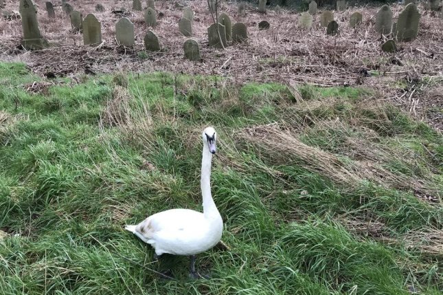 An RSPCA inspector responded to an enclosed graveyard in England to rescue a swan found trapped within the boundaries of a fence. Photo courtesy of the RSPCA