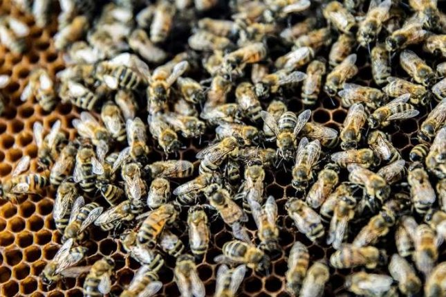 To study the spread of IAPV, scientists used precise tracking technology to follow the movements of individual bees and their interactions with one another. Each bee was tagged with a the equivalent of a QR code. Photo by Fred Zwicky/University of Illinois