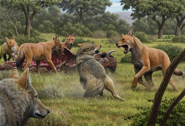 Two gray wolves, lower left, are seen confronting a pack of dire wolves over a bison carcass in Southwestern North America 15,000 years ago. Illustration by Mauricio Anton