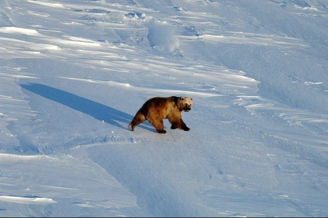 A grizzly bear ventures out on the sea ice north of Banks Island – near where grizzly-polar bear hybrids have been discovered – in 2014. Photo Courtesy Andrew Derocher