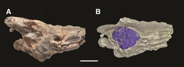 Image and representation of brain case and inner ear of Dinilysia patagonica fossil, which scientists at the University of Edinburgh and American Museum of Natural History have used to show that modern snakes lost their legs when their ancestors became expert burrowers. Photo by Hongyu Yi/University of Edinburgh