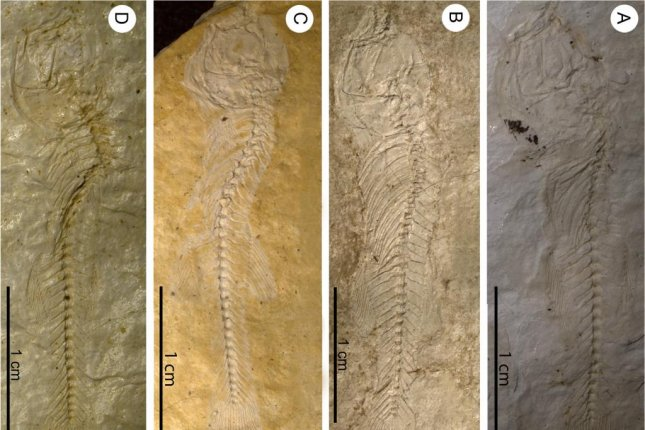 Newly discovered killifish fossils from East Africa. Photo by Ludwig Maximilian University of Munich