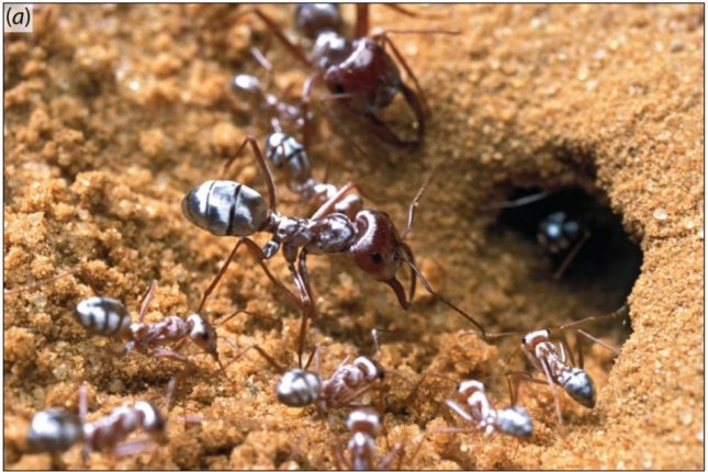 The Saharan silver ant keeps cool by reflecting sunlight with its silver prism-like hairs. Photo by P. Landmann, Willot et al.