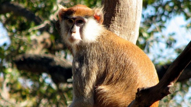 Patas monkey (The Brit_2 on Flickr)