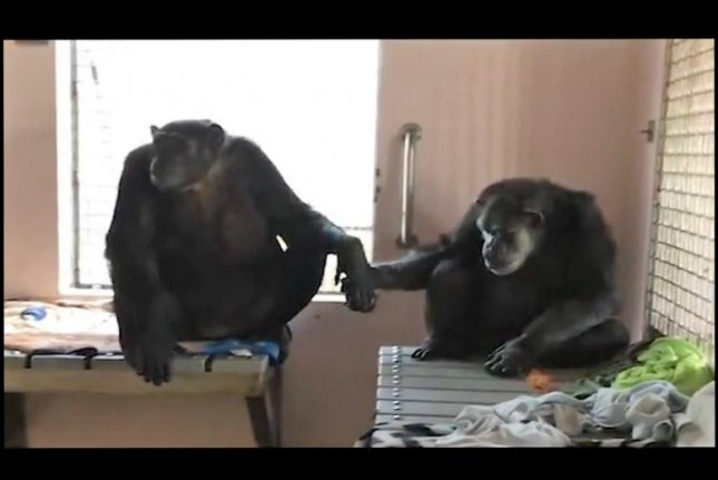Chimpanzees Terry and Jeannie formed an immediate bond after being introduced at the Save the Chimps sanctuary in Florida. Screenshot: Save the Chimps/Facebook video