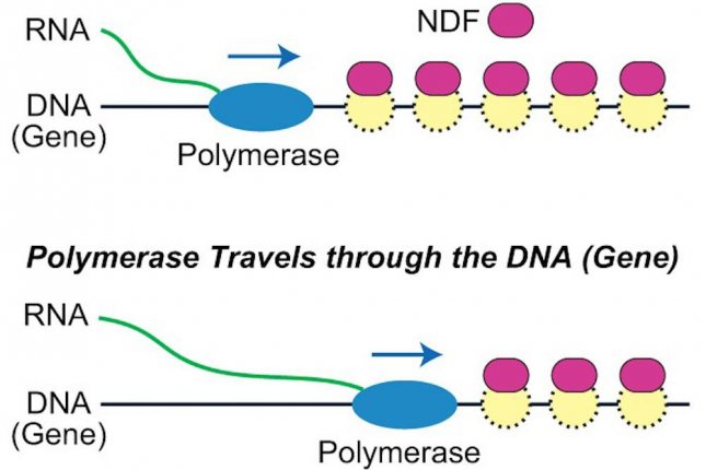 After a protein called NDF destabilizes the nucleosomes, the polymerase is able to make copies of DNA and activate genes. Photo by UCSD