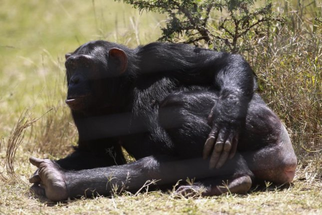 Chimps can recognize one another by the appearance of their buttocks. Photo Daniel Irungu/European Pressphoto Agency