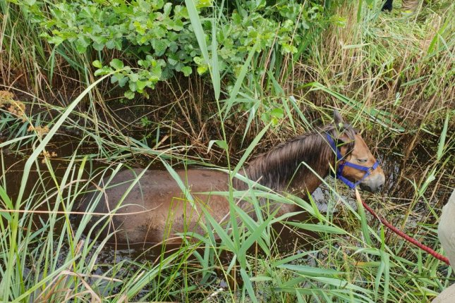 Animal rescuers in Britain responded to a bog where a pony had wandered in and became stuck up to its shoulders in a ditch. Photo courtesy of the RSPCA