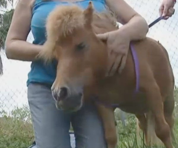 Munchkin, the miniature horse, back with happy owners. Source: Screenshot WSVN-TV