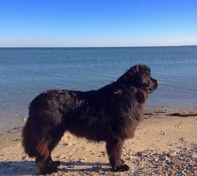Veda, a 2-year-old Newfoundland, helped rescue a stranded loggerhead turtle from a New England beach.  Photo courtesy of New England Aquarium