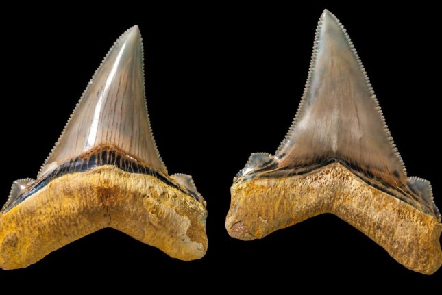 The mega-shark teeth measure nearly 3 inches in length. Photo by Museum Victoria