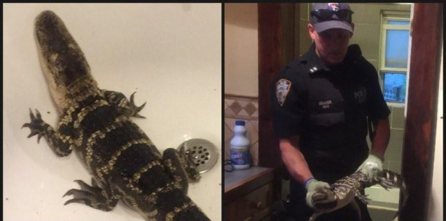 An alligator was removed from the bathtub of a Staten Island home by police investigating reports of a burglary. Photo by @NYPDPaws/Twitter