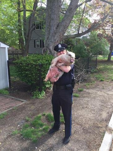A Massachusetts officer rescued a female pot-bellied pig found wandering near a local restaurant and helped return it to its owners.  Photo courtesy of Melrose Police Department
