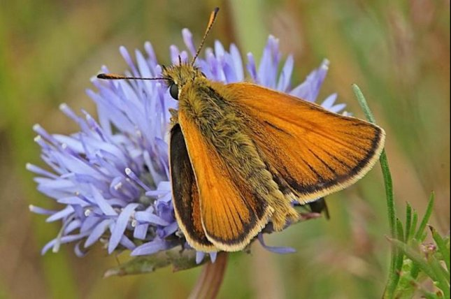 Scientists identified the DNA traces of 135 different species on the pedals of seven different flower species, including the European skipper. Photo by Ole Martin