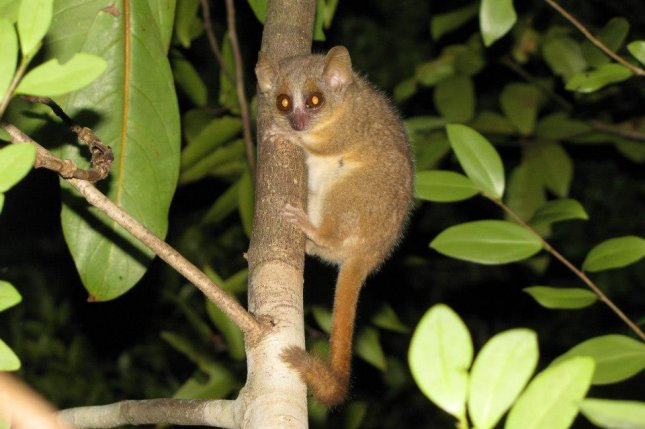 The mouse lemur species Microcebus ganzhorni, with its brown fur and large eyes, appears at night in search of food. Photo by G. Donati