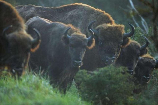Over the last decade, bison have been reintroduced in European countries, including inside Kennemerduinen National Park in the Netherlands. Photo by Staffan Widstrand/Rewilding Europe