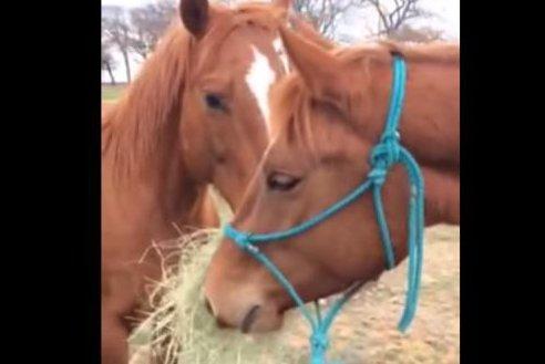 Horse's 'boyfriend' brings her bouquet of hay