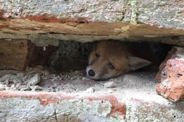 A baby fox was rescued from between the external walls of a home and a garage in Britain. Photo courtesy of the RSPCA