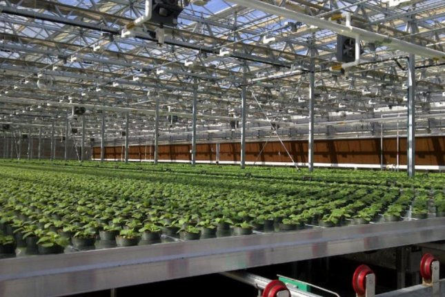 Medicago is growing thousands of tobacco plants in a 97,000-square-foot greenhouse in Durham, N.C., as a method of producing flu vaccine. Photo courtesy of Medicago