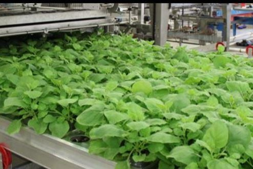 Tobacco being tested for flu vaccine production - UPI com