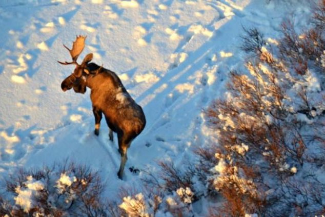 Moose are less likely to move in response to a wolf's presence later in winter. Photo by National Park Service