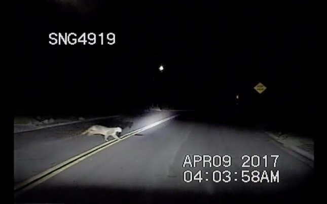 A police officer in California witnessed a mountain lion pursuing a deer across a local road. The officer said the deer managed to escape to see another morning. Screen capture/Chumash Reservation Community Resource Deputy and Mitigation Deputy/Facebook