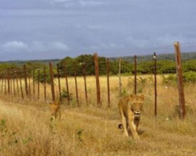 This shows lions in Phinda Private Game Reserve, South Africa. Credit: Luke Hunter/Panthera
