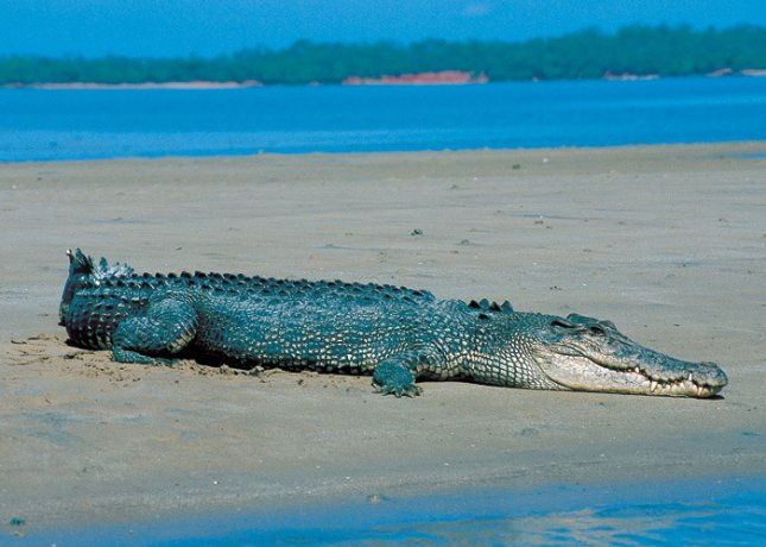Saltwater crocodile on a beach near Darwin, Australia. Credit: Tourist NT