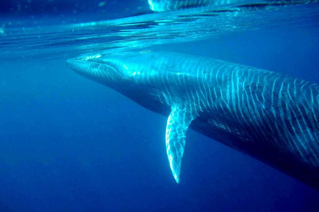 A subspecies of Bryde's whale in the Gulf of Mexico is close to extinction. Photo by Morningdew/Wikimedia Commons