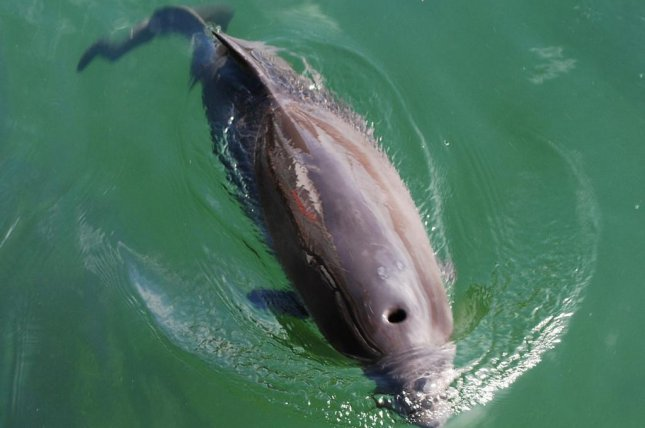 Harbor porpoise numbers in the German North Sea have been steadily declining over the last 20 years. Photo by Erik Christensen/Wikimedia