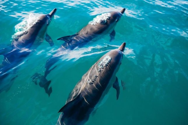 New research details the complex, human-like social lives of whales and dolphins. Photo by University of Manchester