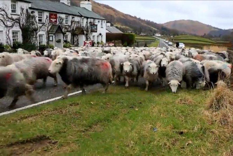 Dozens of sheep take over closed English road. Screenshot: Newsflare