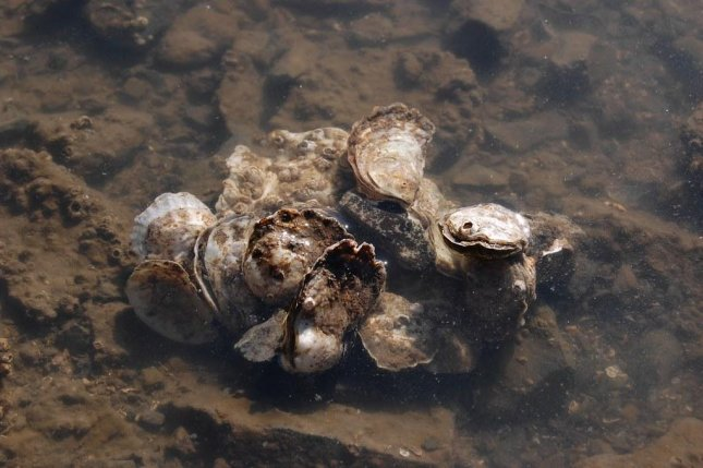 Oysters and clams along the Pacific Coast are being found with significant amounts of microplastic pollution inside. Photo by OSU/Flickr