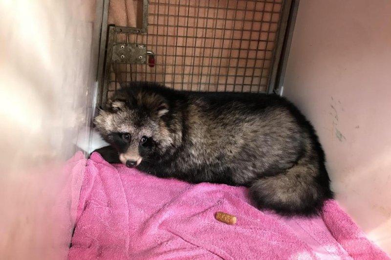 Look: Raccoon dog lived under deck for two months - UPI com