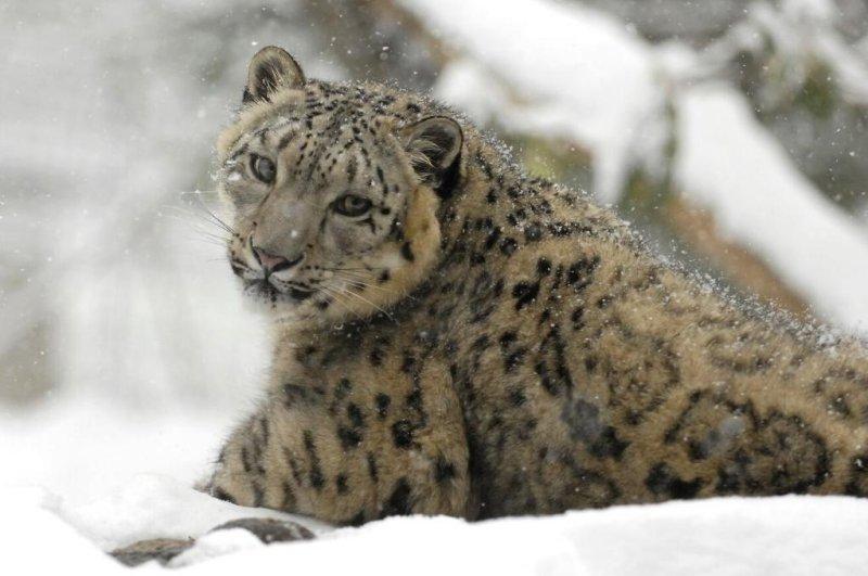 Snow leopards no longer 'endangered,' conservationists rule