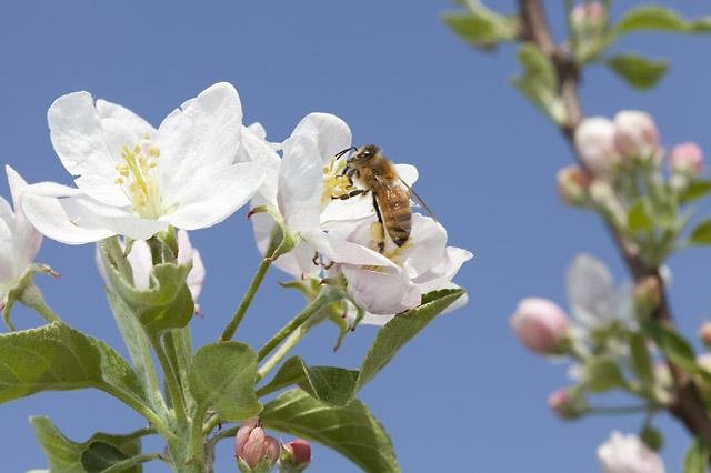 A honeybee visits an almond blossom. Photo by USDA/ARS