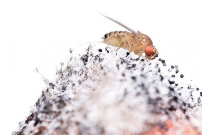 Bad smells block vinegar flies from perceiving good smells, a protective mechanism that keeps flies away from danger. Photo by Benjamin Fabian