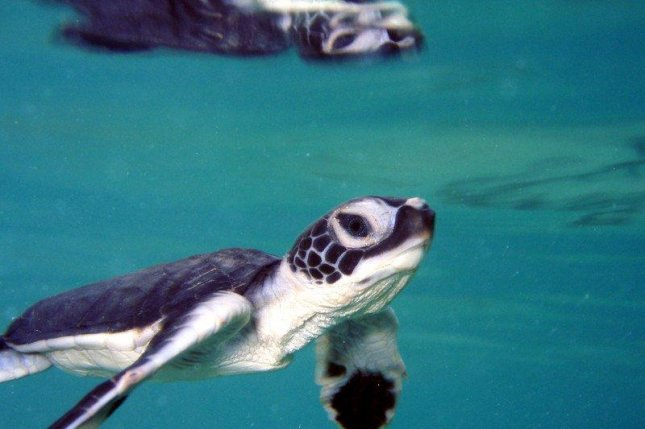 Green sea turtle populations have recovered in Florida and the Caribbean, but remain threatened by habitat loss, pollution and climate change. Photo courtesy of National Oceanic and Atmospheric Administration