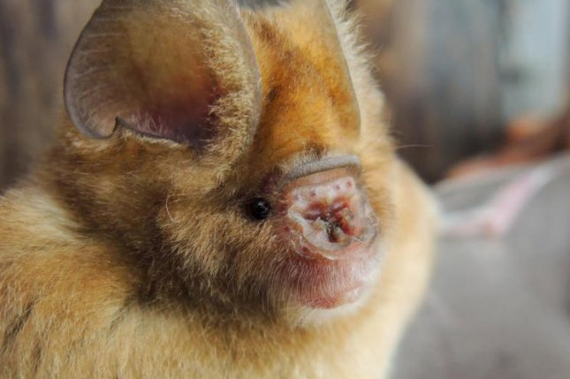 Scientists have found at least four new species of African leaf-nosed bats, close relatives of the bats in which COVID-19 first evolved. Photo by B.D. Patterson/Field Museum