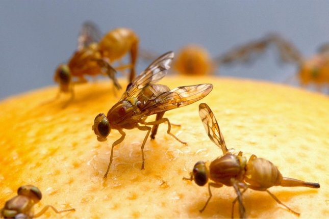 Social cues help fruit flies know when to freeze in the face of danger and when to resume motion when the threat is gone. Photo courtesy of  Pixabay
