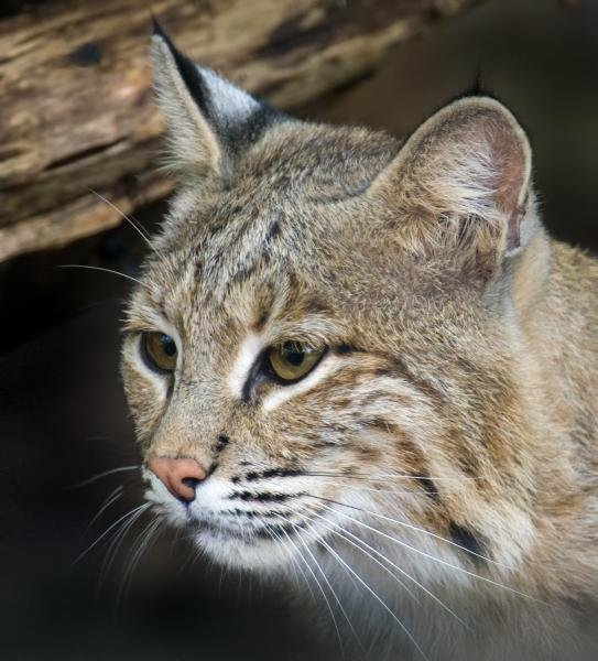 The Smithsonian's National Zoo in Washington, D.C., is asking area residents to be on the lookout for an escaped bobcat named Ollie. Photo courtesy of the Smithsonian's National Zoo